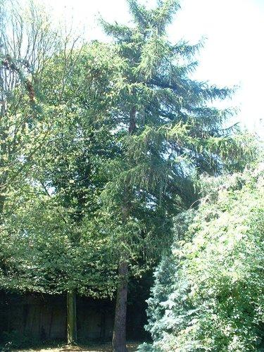 Mélèze d'Europe – Forest, Rue Roosendael, 123 –  14 Juillet 2006