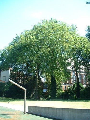 Hêtre d'Europe – Forest, Jardin de l'école normale de Berkendael, Rue Berkendael –  18 Juillet 2006