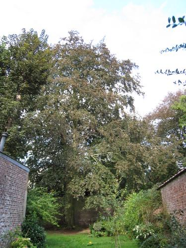 Hêtre pourpre – Ixelles, Avenue Brugmann, 209 –  12 Septembre 2011