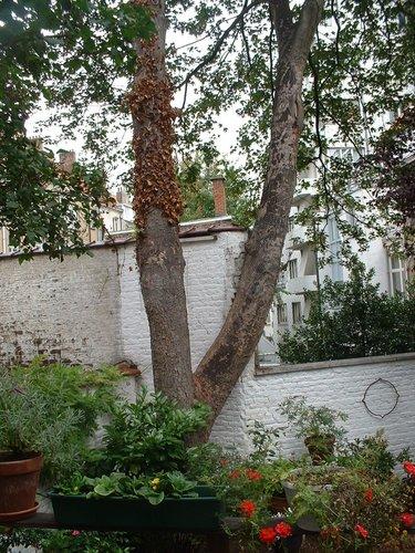 Erable sycomore – Ixelles, Rue Vilain XIIII, 13 –  21 Août 2006