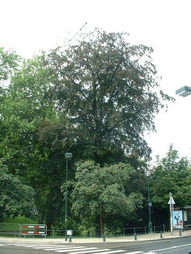 Hêtre pourpre – Ixelles, Etangs d'Ixelles, Avenue des Eperons d'Or –  21 Août 2006