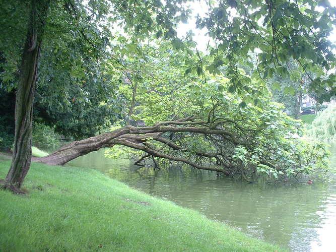 Trompetboom – Elsene, Vijvers van Elsene, Gulden-Sporenlaan –  21 August 2006
