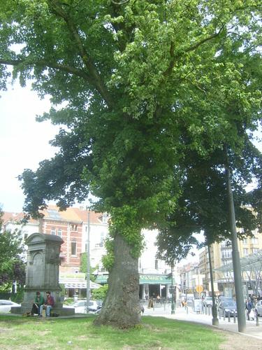 Erable argenté – Ixelles, Etangs d'Ixelles, Place Eugène Flagey –  02 Juillet 2013