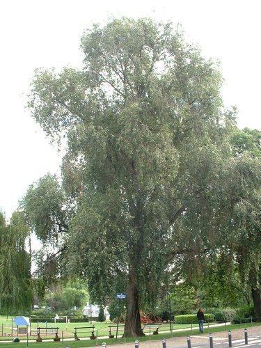 Populus simonii – Brussel, Prins Leopoldsquare, Prins Leopoldsquare –  29 August 2006