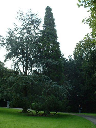 Calocèdre d'Amérique – Bruxelles, Parc Sobiesky et Jardin colonial, Avenue Jean Sobieski –  29 Août 2006
