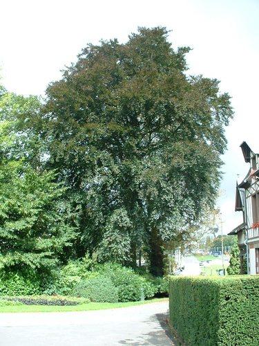 Hêtre pourpre – Bruxelles, Parc Sobiesky et Jardin colonial, Avenue Jean Sobieski –  29 Août 2006