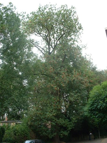 Frêne commun – Bruxelles, Domaine du Mont Saint-Alban, Avenue Jean Sobieski, 17 –  02 Octobre 2006