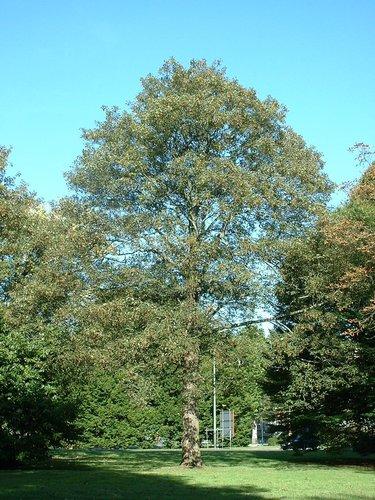 Erable sycomore – Bruxelles, Avenue du Gros Tilleul –  13 Octobre 2006