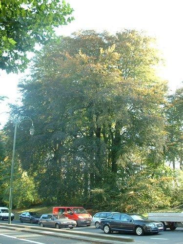 Hêtre pourpre – Bruxelles, Avenue des Croix du Feu –  13 Octobre 2006