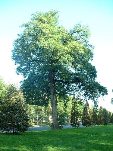 Gewone acacia – Brussel, Vuurkruisenlaan –  13 Oktober 2006
