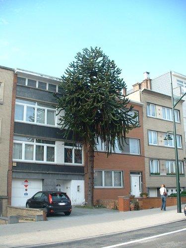 Araucaria du Chili – Bruxelles, Avenue de l'Araucaria, 108 –  26 Octobre 2006