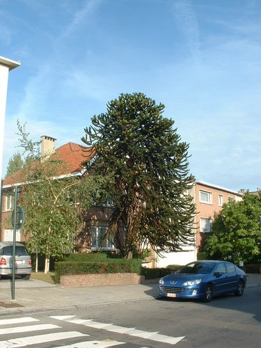 Araucaria du Chili – Bruxelles, Avenue de Versailles, 12 –  26 Octobre 2006