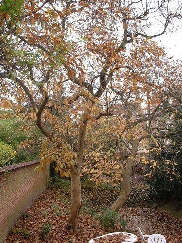 Magnolier de Soulange – Bruxelles, Avenue Houba de Strooper, 59 –  20 Novembre 2006