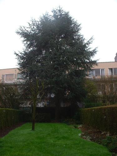 Cèdre bleu de l'Atlas – Forest, Avenue Maréchal Joffre, 59 –  01 Février 2007