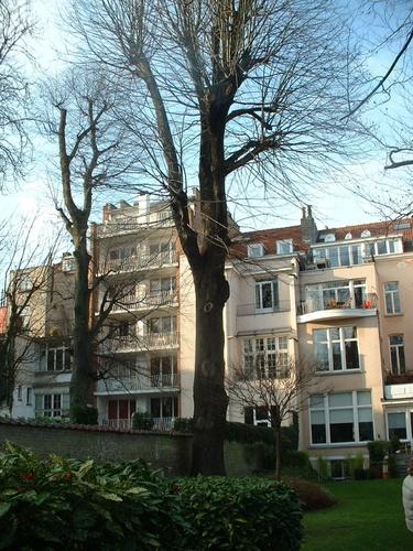 Tilleul argenté – Saint-Gilles, Rue Defacqz, 136 –  31 Janvier 2007