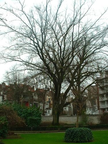 Hêtre pourpre – Saint-Gilles, Rue Defacqz, 134 –  06 Février 2007