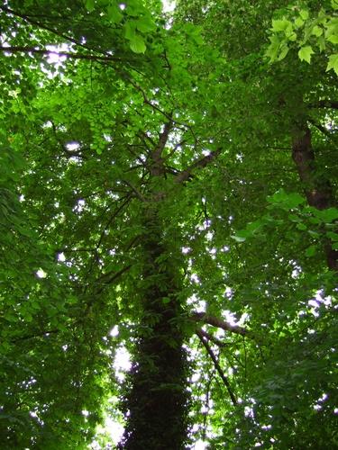 Marronnier commun – Saint-Gilles, Ilôt Horta, Chaussée de Charleroi, 226 –  01 Juin 2007