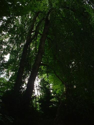 Hêtre pleureur – Watermael-Boitsfort, Parc du château Morel, Rue Nisard, 6 –  28 Juin 2007