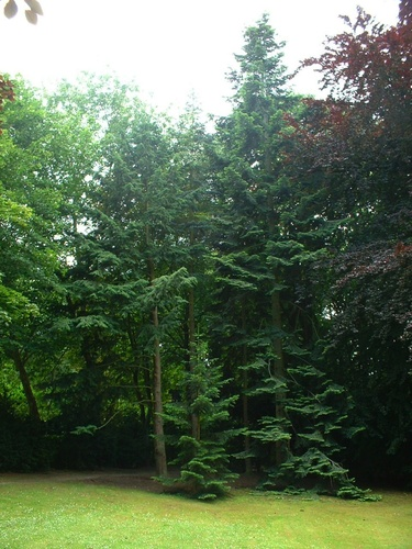 Sapin de Vancouver – Watermael-Boitsfort, Parc du château Morel, Rue Nisard, 6 –  28 Juin 2007