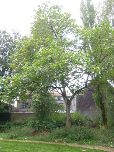 Paulownia impérial – Anderlecht, Parc Rauter, Rue Victor Rauter –  20 Octobre 2015