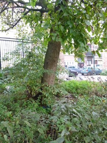 Mûrier noir – Anderlecht, Parc Rauter, Rue Victor Rauter –  20 Octobre 2015