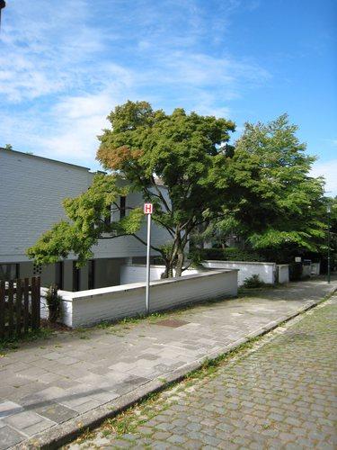 Erable palmé – Uccle, Bosveldweg, 67 –  03 Août 2007
