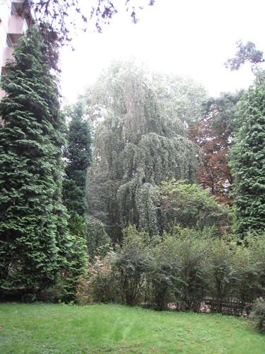 Hêtre pleureur – Forest, Rue Cervantès, 6 –  21 Août 2007