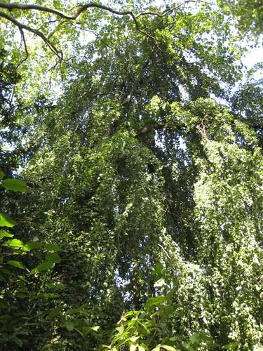 Hêtre pleureur – Uccle, Avenue de la Floride, 127 –  13 Septembre 2007