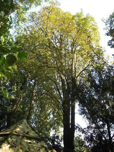 Marronnier commun – Uccle, Ancienne propriété Pirenne, Avenue de la Floride, 127 –  13 Septembre 2007
