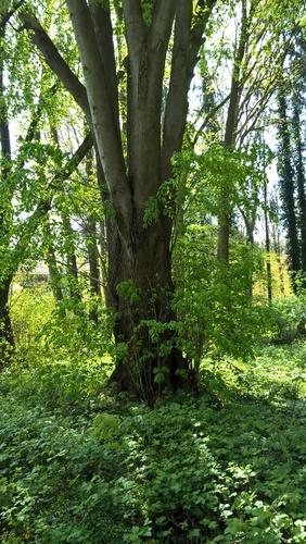 Tilleul à larges feuilles – Uccle, Domaine Latour de Freins, Rue Engeland, 555 –  20 Avril 2017