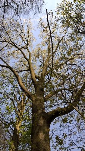 Chêne rouge d'Amérique – Uccle, Domaine Latour de Freins, Rue Engeland, 555 –  20 Avril 2017