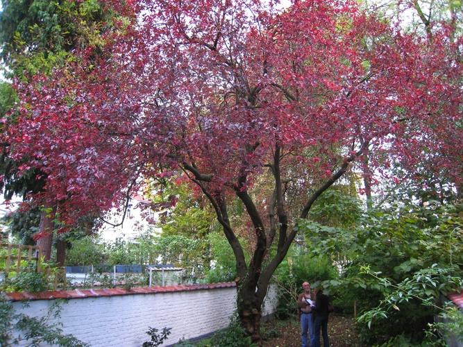 Prunus cerasifera 'Nigra' – Elsene, Franz Merjaystraat, 39 –  18 Oktober 2007