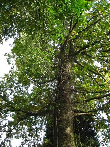 Chêne pédonculé – Uccle, Drève des Gendarmes, 51a –  19 Octobre 2007