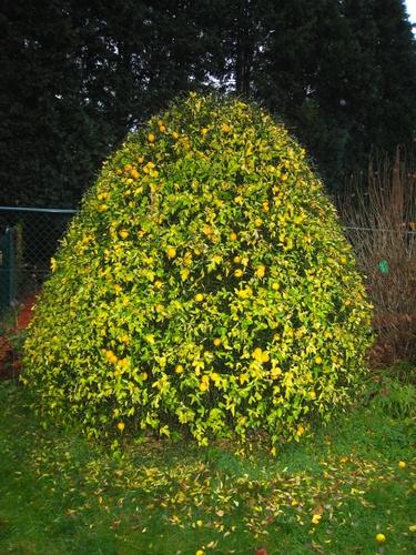 Poncirus trifoliata – Uccle, Avenue Hamoir, 62 –  21 Novembre 2007
