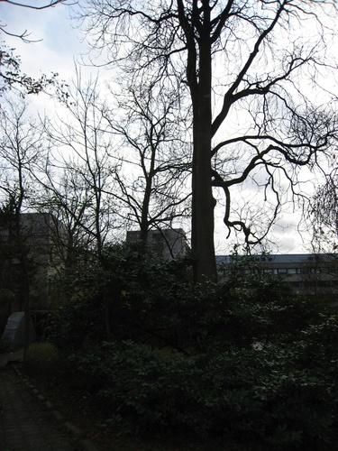 Ailante glanduleux – Uccle, Rue Groeselenberg, 57 –  23 Novembre 2007