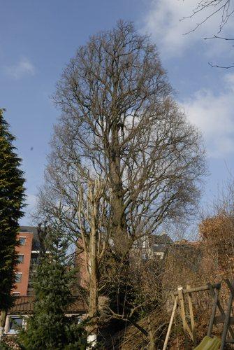 Chêne pédonculé fastigié<br>Bruxelles Rue de Vrière, 63-65