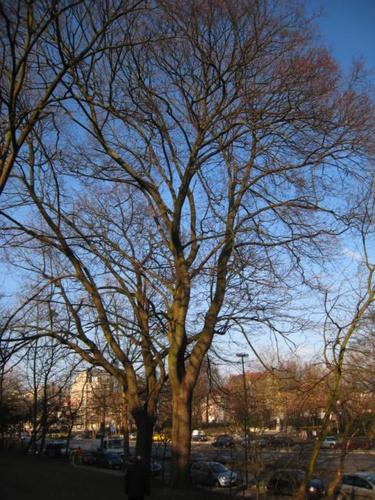 Noorse esdoorn – St.- Lambrechts - Woluwe, Vergote square, Vergoteplein –  15 February 2008