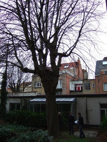 Marronnier commun – Ixelles, Rue Souveraine, 55 –  06 Mars 2008
