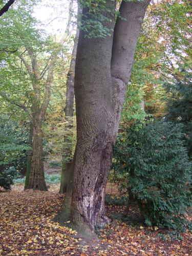 Tulpenboom – St.- Lambrechts - Woluwe, Voormalig landgoed Lindthout, Tweelindenlaan, 2 –  03 November 2010
