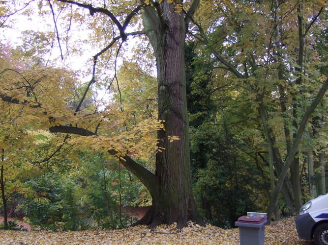 Tilleul argenté – Woluwé-Saint-Lambert, Ancienne propriété Lindthout, Avenue des Deux Tilleuls, 2 –  03 Novembre 2010