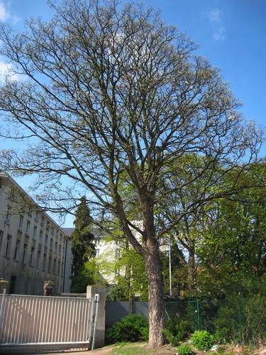 Erable sycomore – Bruxelles, Rue de Molenbeek, 194 –  17 Avril 2008