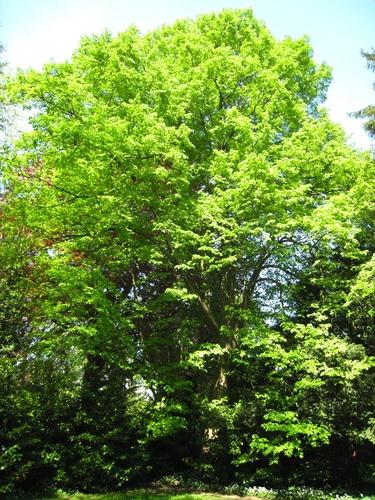 Tilleul à petites feuilles – Uccle, Avenue du Prince d'Orange, 33 –  07 Mai 2008