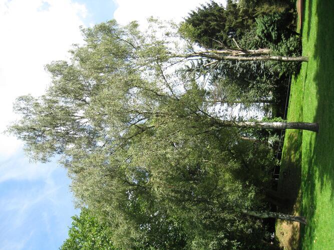 Bouleau verruqueux lacinié – Anderlecht, Parc de Scherdemael, parc –  30 Juillet 2008