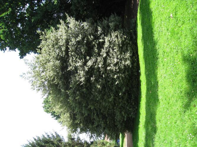 Ilex aquifolium 'Albomarginata' – Anderlecht, Scherdemaelpark, parc –  30 Juli 2008