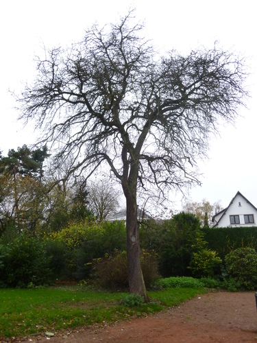 Poirier cultivé – Anderlecht, Parc de Scherdemael, parc –  16 Novembre 2015
