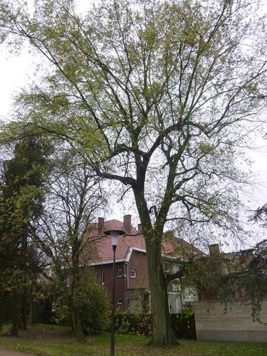 Acer saccharinum var. laciniatum – Anderlecht, Parc de Scherdemael, Rond point Pierre De Tollenaere –  16 Novembre 2015