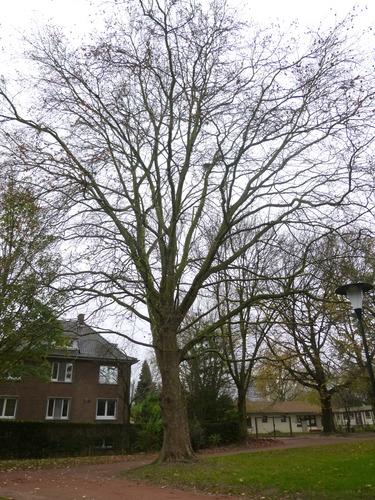 Platane à feuille d'érable – Anderlecht, Parc de Scherdemael, parc –  16 Novembre 2015