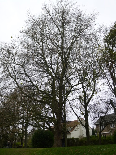 Gewone plataan – Anderlecht, Scherdemaelpark, parc –  16 November 2015