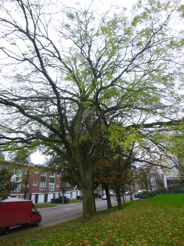 Sophora du Japon – Anderlecht, Parc de Scherdemael, Avenue de la Libre Académie –  16 Novembre 2015