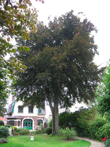 Hêtre pourpre – Anderlecht, Avenue d'Itterbeek, 236-238 –  28 Août 2008